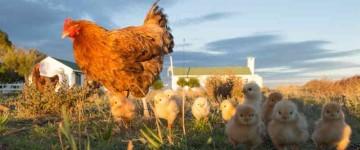 AGAG0108 Producción Avícola Intensiva