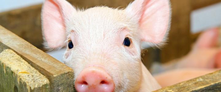 Curso gratis AGAP0108 Producción Porcina de Reproducción y Cría online para trabajadores y empresas