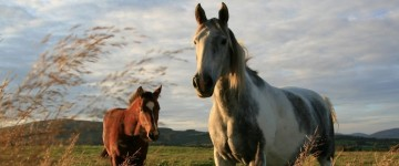 Curso Superior de Valoración de Semovientes (Especialidad Equinos)