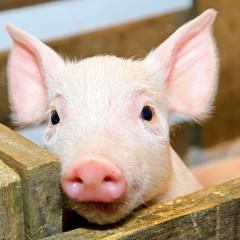 Producción Porcina de Reproducción y Cría